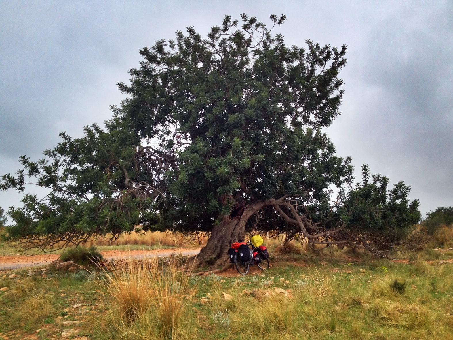 UntermOlivenbaum